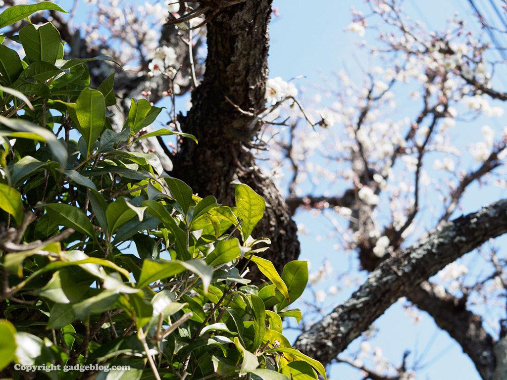 生け垣と梅の木