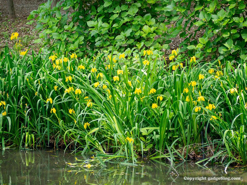水辺に咲く黄色い花