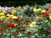 咲き誇るバラ