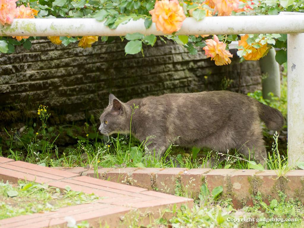 バラ園のノラ猫