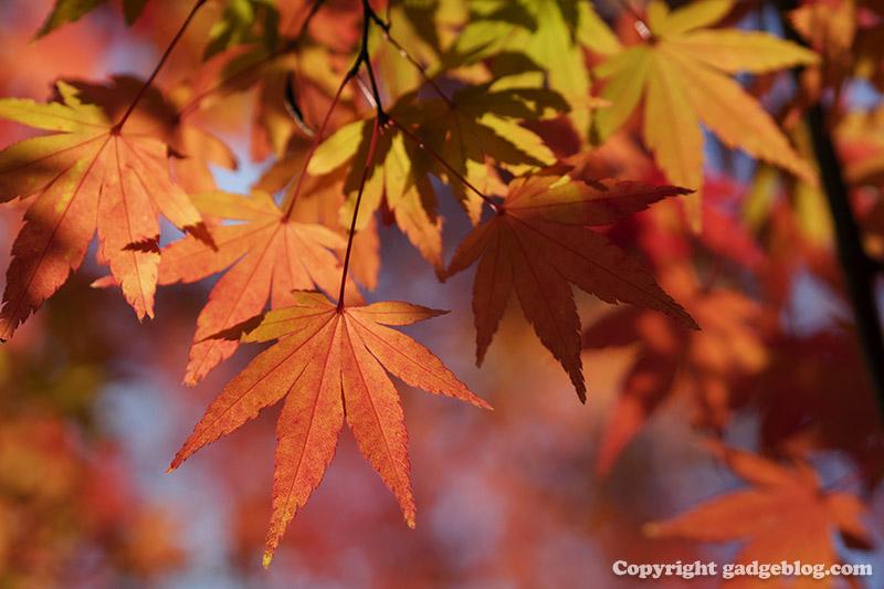紅葉するもみじの葉をクローズアップ