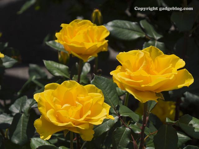 黄色いバラ三角構図