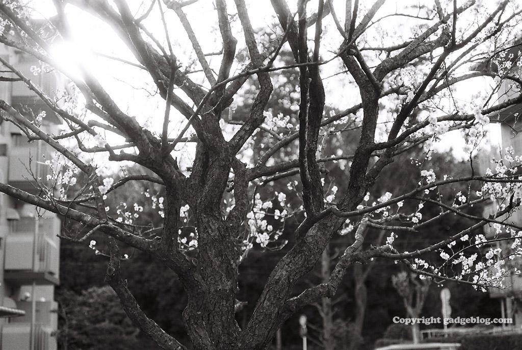 平成最後の梅の花
