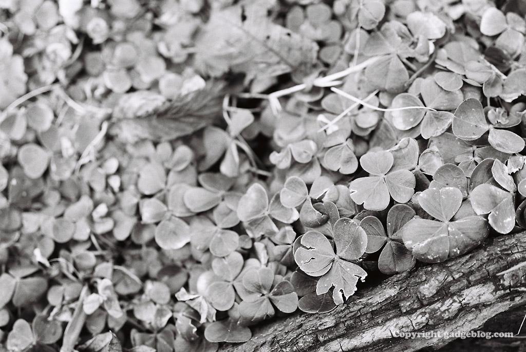 朽ち木とクローバー