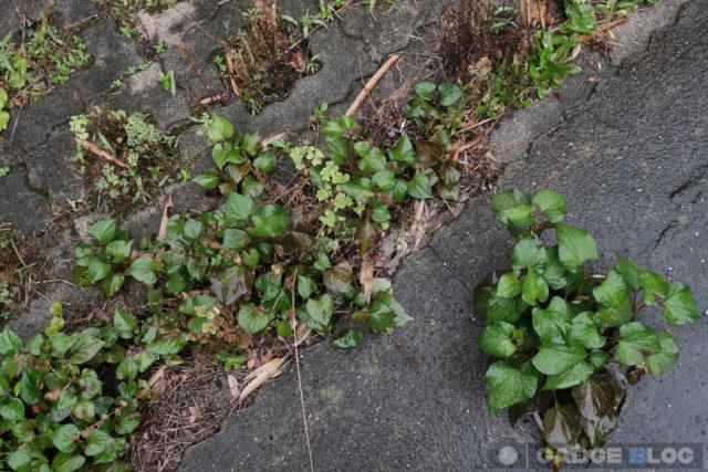 道路の割れ目から伸びる雑草