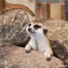 市川市動植物園は流しカワウソが有名だけどミーアキャットも可愛いよ!